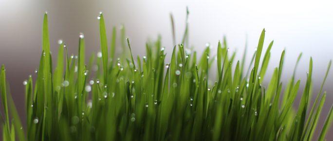 hvedegræs